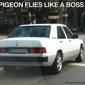Pigeon flies like a Boss