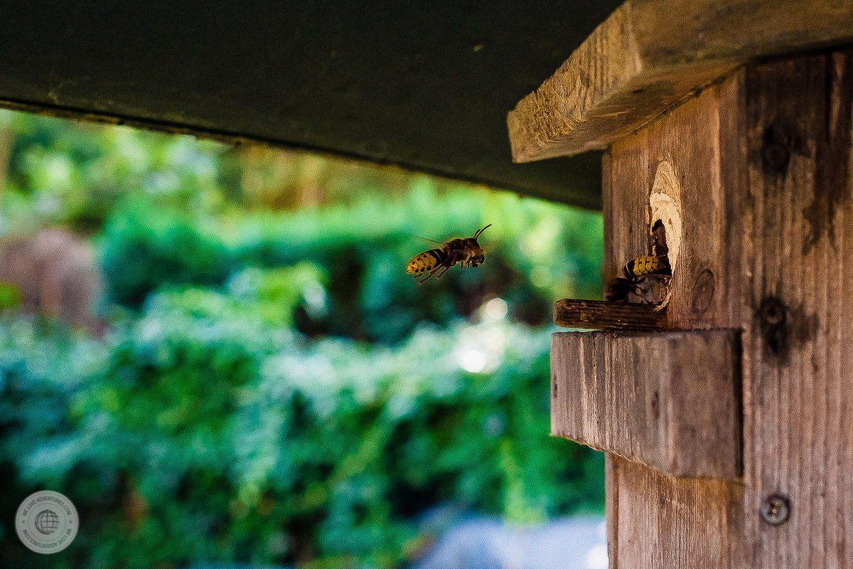 Hornisse im Anflug mit Beute