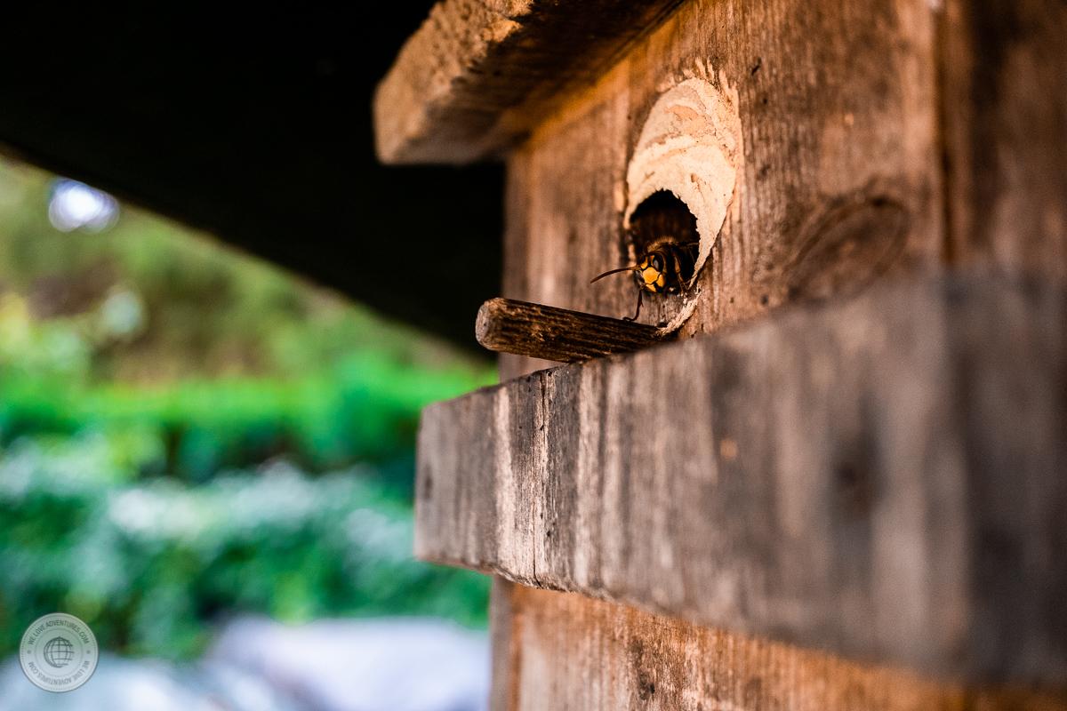 Hornisse am Nest